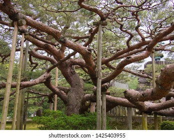 KANAZAWA, JAPAN - JUNE 9: A large pine tree in Kenroku-en or the Six Attributes Garden on June 9, 2019 in Kanazawa. Kenroku-en contains over 180 species of plants and over 8000 trees.