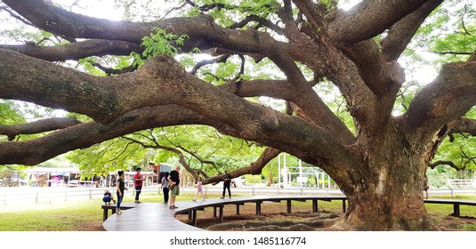 Kanchanaburi, Thailand - July 22, 2019:  Tourist or People travel to visit and seeing Giant Monkey Pod tree at Kanchanaburi, Thailand. Landmark for travel in Asia. Old big tree and Beauty of Nature