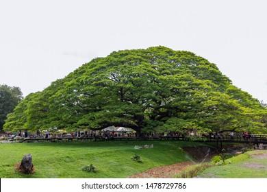 KANCHANABURI,THAILAND - Febuary 16, 2019 : Chamchuri Giant Tree Tourist Attraction. / The big branch of giant rain tree at Kanchanaburi province,Thailand.