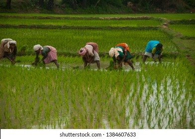 KANCHIPURAM, TAMIL NADU, INDIA, 02 DECEMBER 2012 : Unidentified group of women transplanted rice shoots they plant the new crop in the rice paddy.