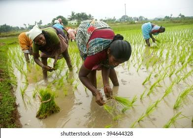 KANCHIPURAM- TAMIL NADU-INDIA-DEC 02 : Unidentified group of women transplanted rice shoots they plant the new crop in the rice paddy, kanchipuram , tamil nadu, India,02 December 2012.