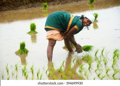 KANCHIPURAM- TAMIL NADU-INDIA-DEC 02 : Unidentified   woman transplanted rice shoots they plant the new crop in the rice paddy, kanchipuram , tamil nadu, India,02 December 2012.