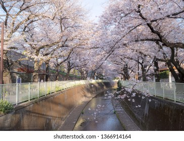 Kandagawa River and the Cherry Blossom trees and flowers Sakura in Tokyo.
