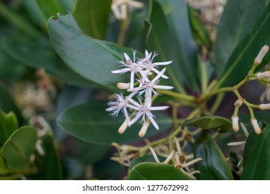 Kandelia candel is a species of mangrove in the family Rhizophoraceae