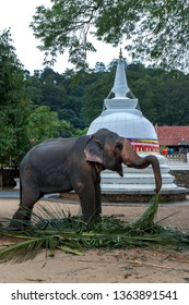 KANDY, SRI LANKA - AUGUST 01, 2017 : A ceremonial elephant feeding on palm leaves within the Temple of the Sacred Tooth Relic prior to parading in the Buddhist Esala Perahera.
