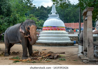 KANDY, SRI LANKA - AUGUST 01, 2017 : A ceremonial elephant standing in front of a Buddhist stupa within the Temple of the Sacred Tooth Relic complex. It is feeding prior to the Esala Perahera.