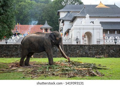 KANDY, SRI LANKA - AUGUST 01, 2017 : A ceremonial elephant standing in front of the Temple of the Sacred Tooth Relic complex. It is feeding prior to parading in the Esala Perahera or great procession.