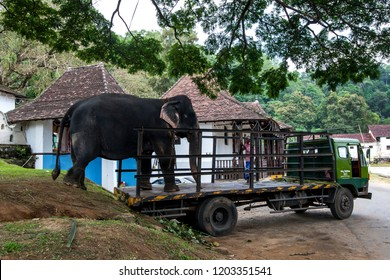 KANDY, SRI LANKA - AUGUST 11, 2013 : A ceremonial elephant which will parade in the Buddhist Esala Perahera (great procession) is offloaded from a truck at the Temple of the Sacred Tooth Relic.
