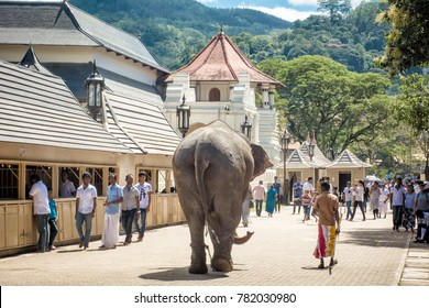 Kandy, Sri Lanka- December 14 2017: Tamed elephant is a key component in the Kandy Esala Perehera, a historical procession held annually to pay homage to the Temple of the Tooth Relic of Lord Buddha.
