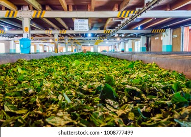 KANDY, SRI LANKA - FEBRUARY 8: Tea leafs drying in a production line in a tea factory. February 2017