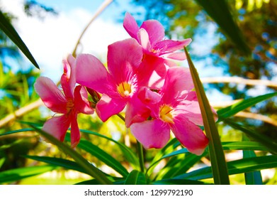 KANDY, SRI LANKA - November 2015: Colorful pink red flowers at Peradeniya Royal Botanical Garden in Kandy, Sri Lanka. Peradeniya flower, Ceylon tropical flora closeup view, Kandy, Sri Lanka