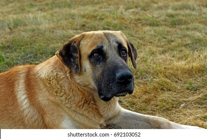Kangal alfa shepherd dog