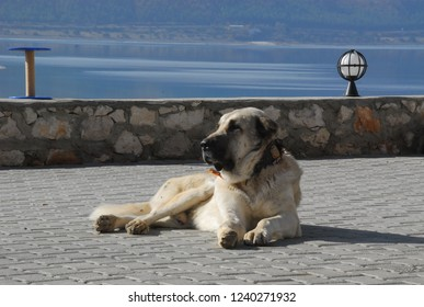 kangal dog laying close up