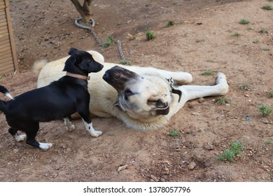 Kangal dog and little friend