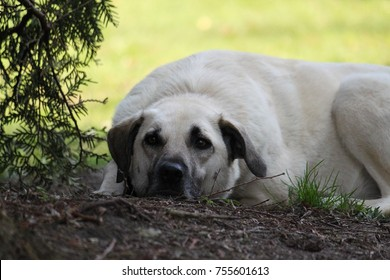 kangal dog is lying in the garden