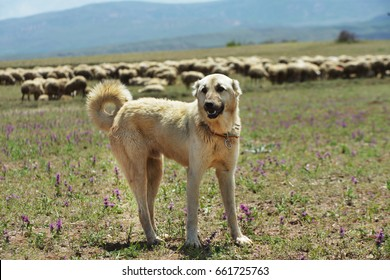 Kangal Dog, Sivas, Turkey