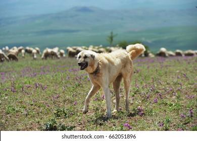 Kangal Dogs, Sivas, Turkey