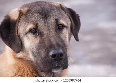 Kangal dogs in turkey