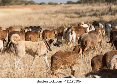 A Kangal livestock guarding dog roams in between a herd of Damara fat-tailed sheep, Namibia, June