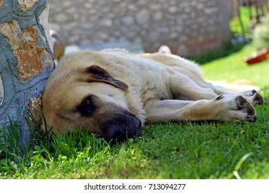 Kangal sheep dog resting in to soft shadow