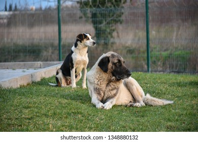 Kangal shepherd dog and little friend