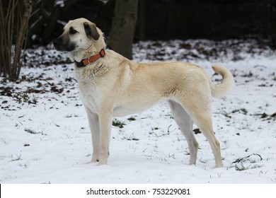 kangal is standing in the snowy forest