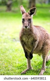 Kangaroo animal on the grass