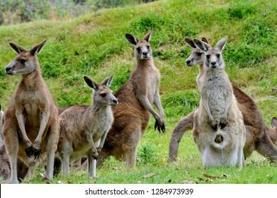 Kangaroo - Australia