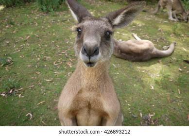 Kangaroo, Australia, Tasmania, Kangaroo, Wildlife