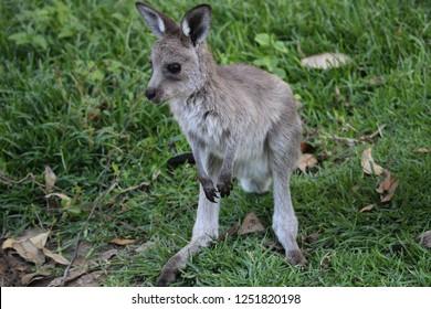 Kangaroo baby in Australia