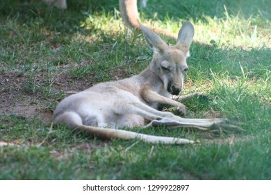 Kangaroo baby . A Joey laying down peaceful in the grass. kangaroo head kangaroo face kangaroo ears so cute