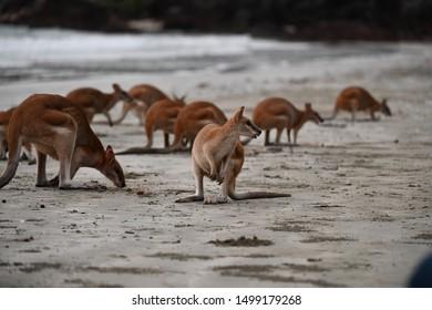 Kangaroo at the beach looking for food