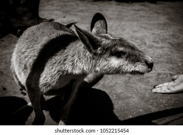 Kangaroo being fed, Black and White