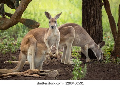 A kangaroo with black and white markings on its face - the trademark of a red kangaroo  (macropus rufus). The two kangaroos are standing in the shade of a tree. One kangaroo has a joey in its pouch.