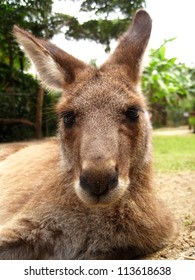 Kangaroo, Close-Up
