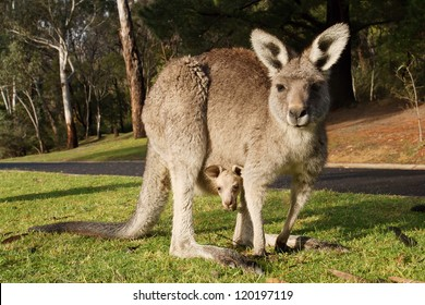 Kangaroo with cub in a pouch, Australia