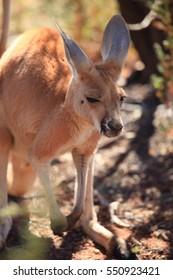 Kangaroo in Desert Park in Australia