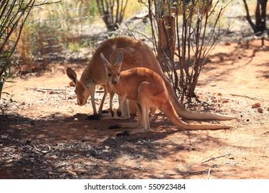 68c5a3ce Unofficial Symbol of Australia Images, Stock Photos & Vectors ...