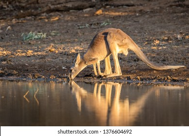 Kangaroo drinking from a billabong in the Australian outback