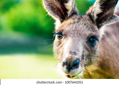 Kangaroo face close up