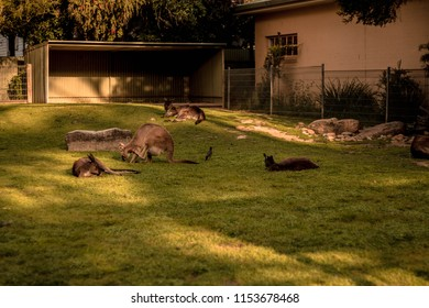 Kangaroo / Featherdale Wildlife Park / Sydney / Australia - September 2017: Located on seven acres of land owned by Charles and Marjorie Wigg, which they purchased in 1953.