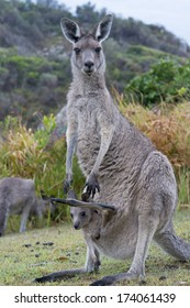 Kangaroo Female With a Baby Joey in Pouch- Closeup