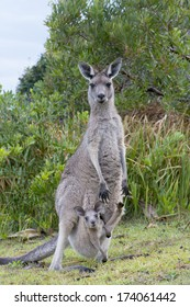 Kangaroo Female With a Baby Joey in Pouch