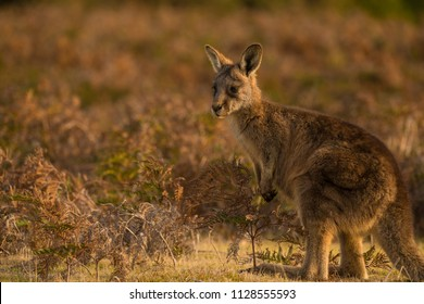 Kangaroo in a field during a golden sunset