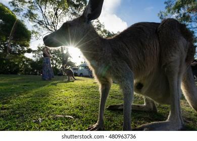 A kangaroo is framed by the setting sun
