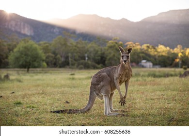 Kangaroo, Grampians, Victoria, Australia