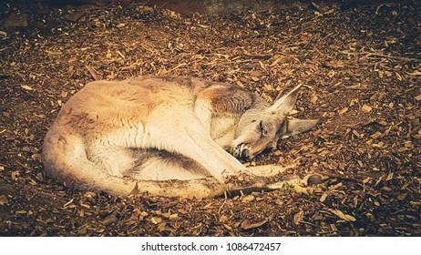 Kangaroo having a nap on Morisset Park Sydney