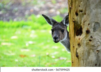 Kangaroo hiding behind tree near Perth, Western Australia