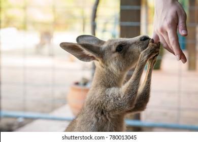 Kangaroo holding a human hand