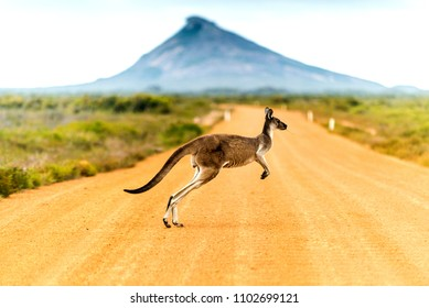 A kangaroo hops across a yellow dirt road.